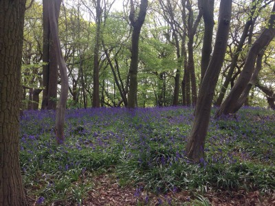 Blue Bell Wood at the top of Benton Hall Golf Course, Wickham Bishops
